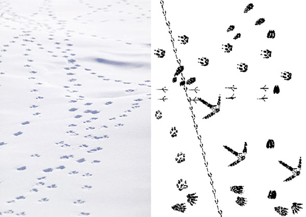 Alaska, winter, animal tracks in the snow, north slope, arctic slope