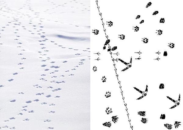 Alaska, winter, animal tracks in the snow, north slope, arctic slope